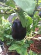 Eggplants in the aquaponics and still fruiting like crazy